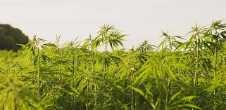 get a insurance quote on hemp